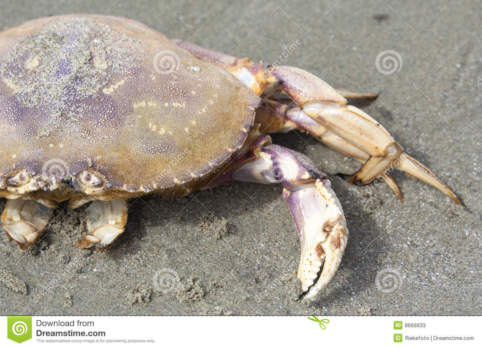 Crabe de Dungeness sur la plage