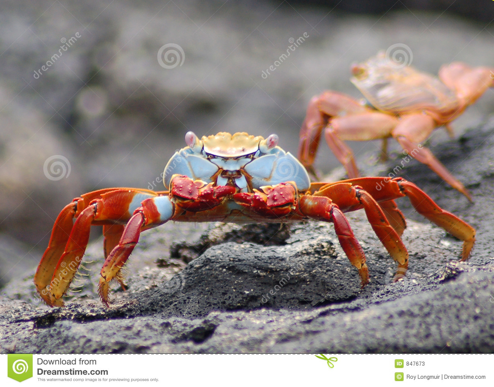 Crabe ewe - Page 2 Crabe-de-lave-de-sally-lightfoot-847673