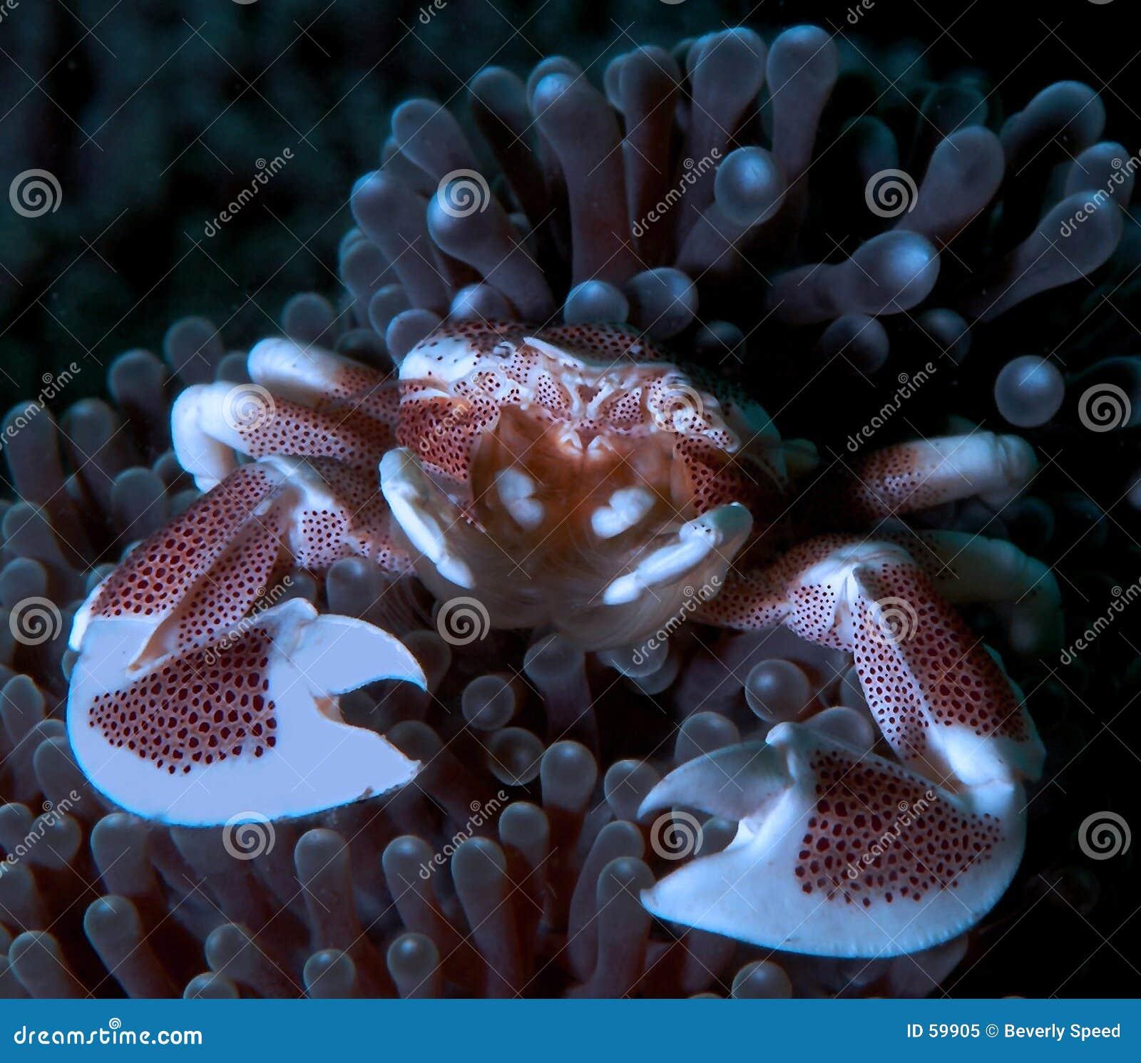 Download Crabe de porcelaine image stock. Image du scaphandre, plongée - 59905