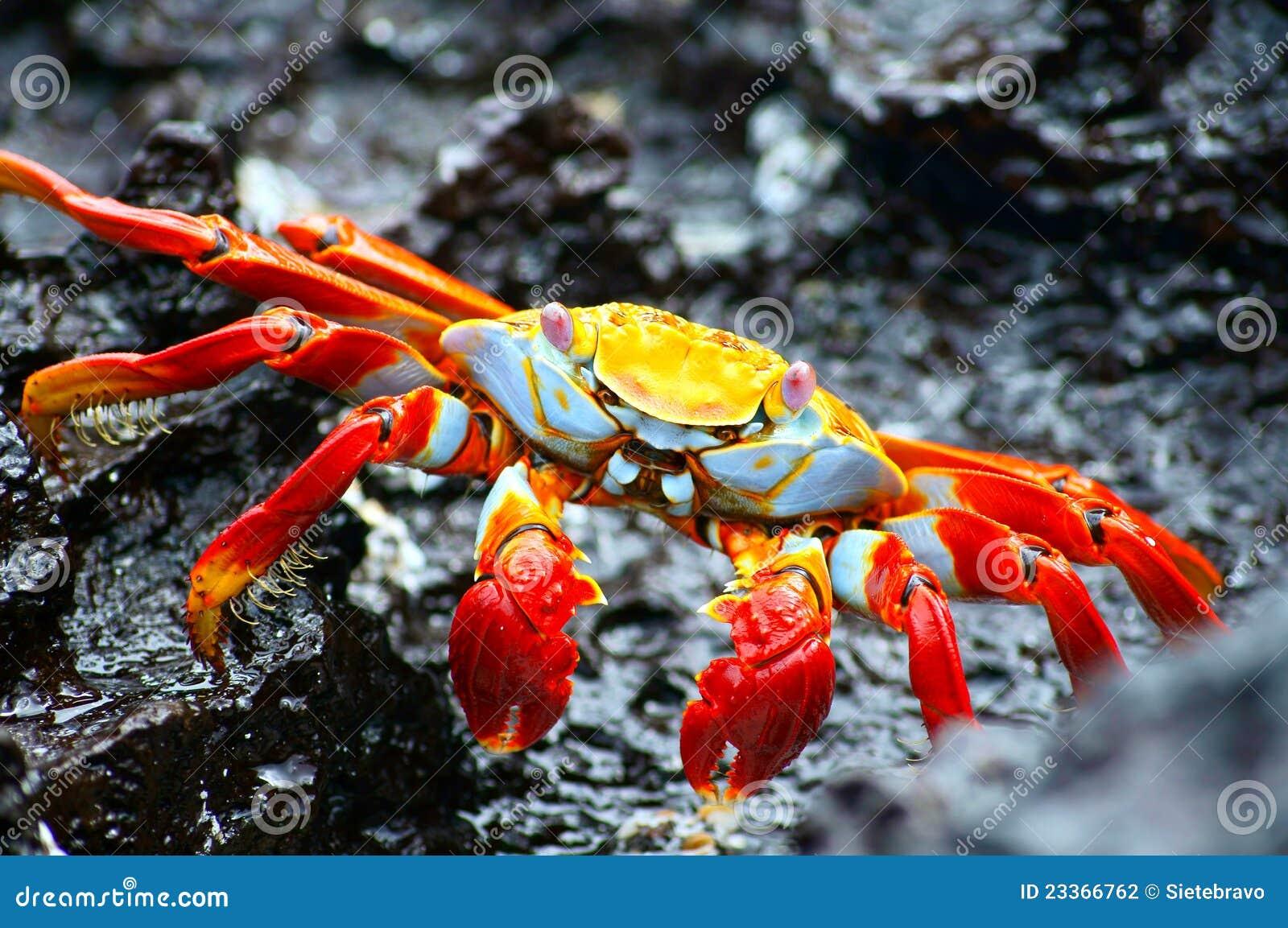 Crabe de roche rouge dans Galapagos