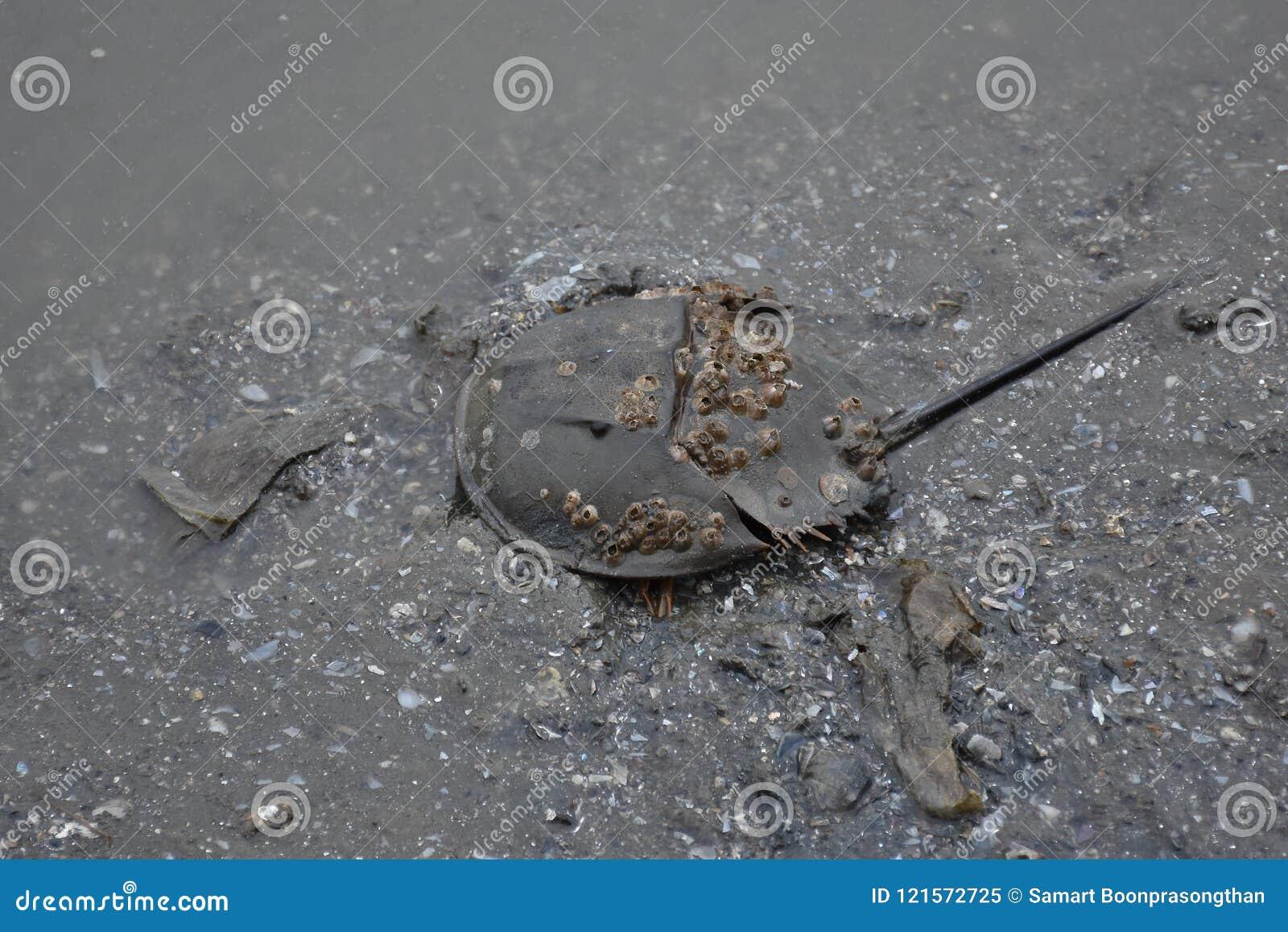 Crabe en fer à cheval, boue sur le plancher