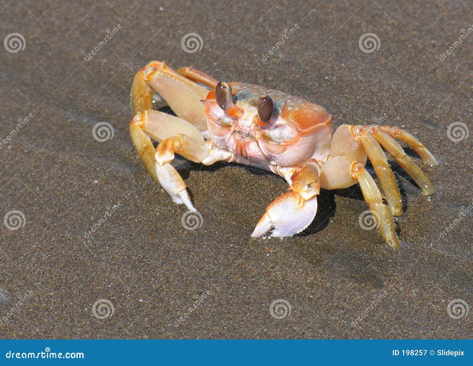 Crabe Pacifique