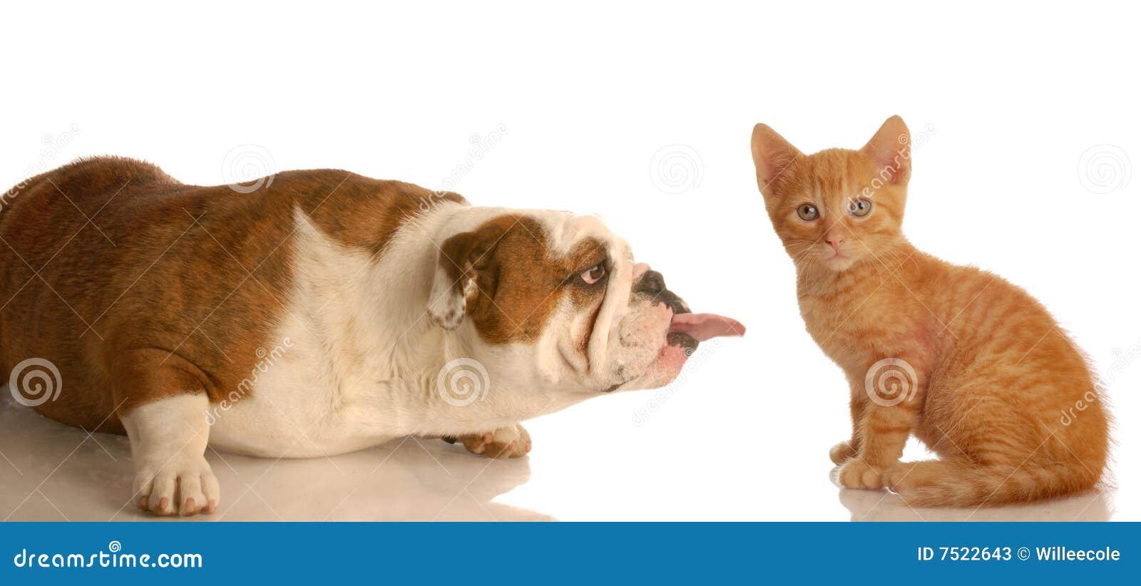 Crabot collant la langue à l extérieur au chaton