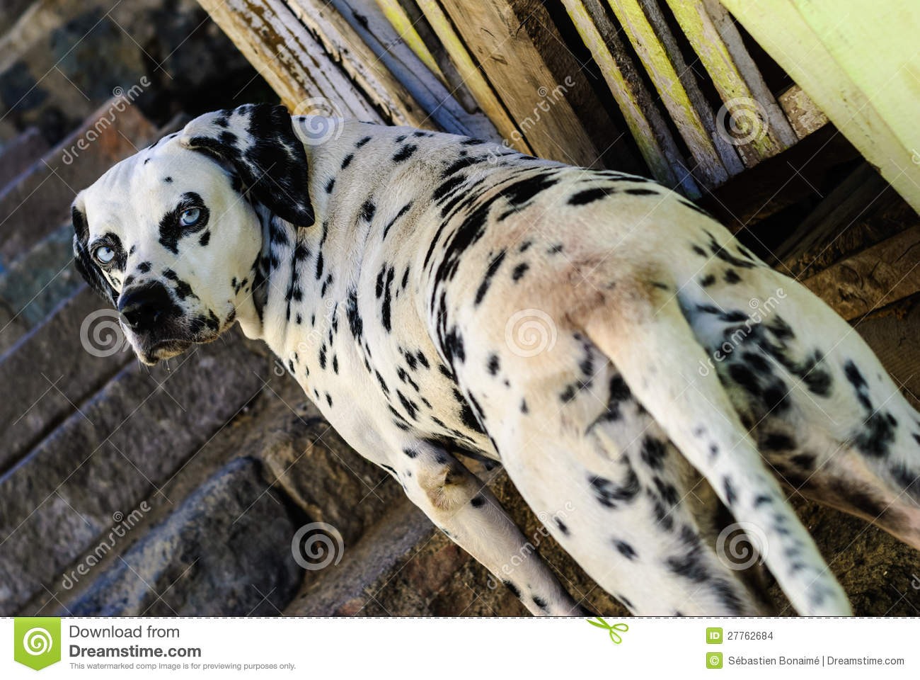 crabot dalmatien avec des yeux bleus images stock image 27762684. Black Bedroom Furniture Sets. Home Design Ideas