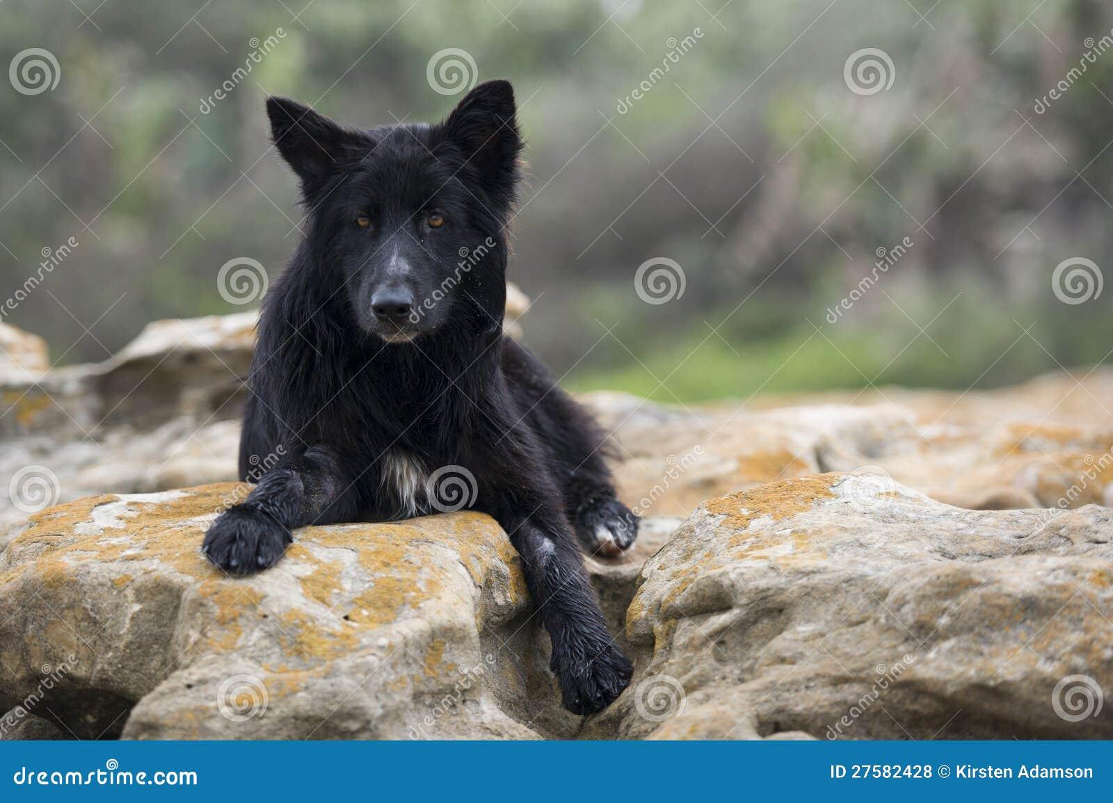 Crabot noir de loup