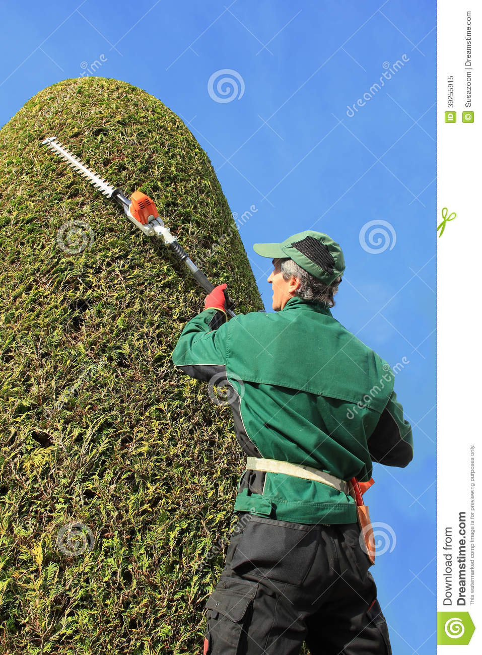 Craftsman Trimming Thuja With Hedge Clippers Stock Photo