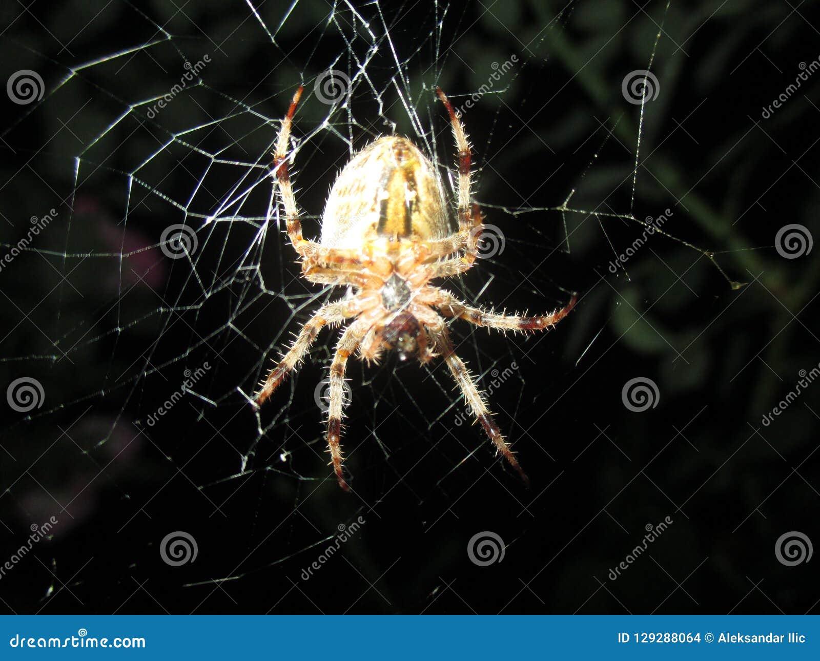 Crainte des araignées