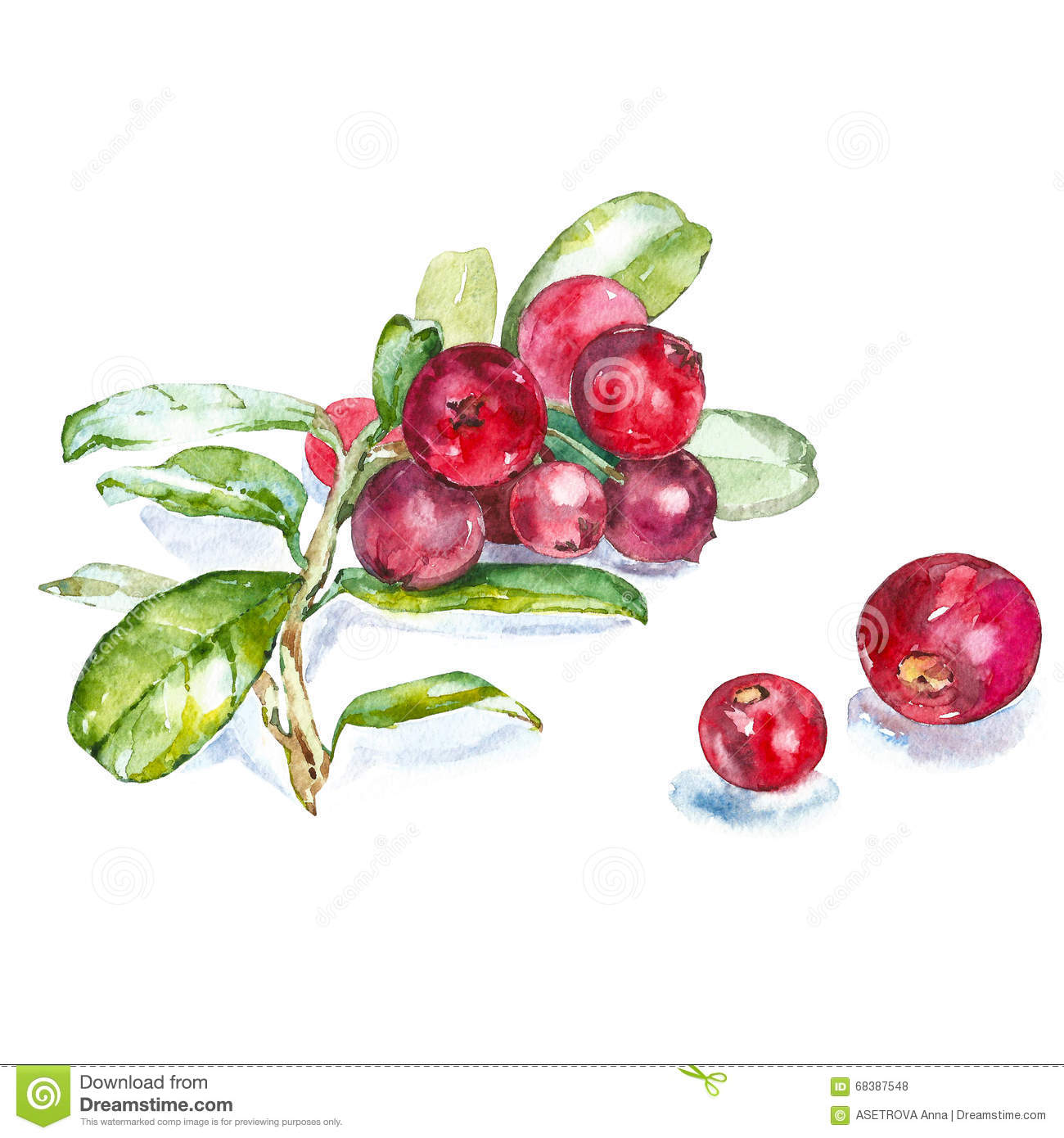 Hand drawn watercolor painting cranberry on white background.