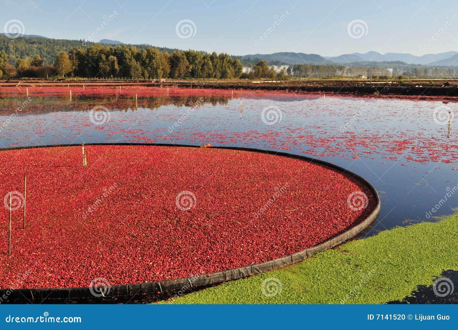 Cranberry Farming