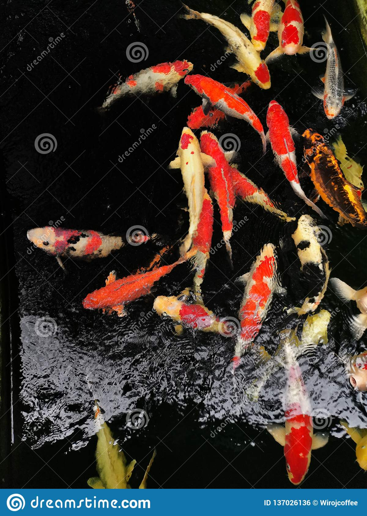 Cranberry Fish Are Eating Feed Pellet In The Pond At