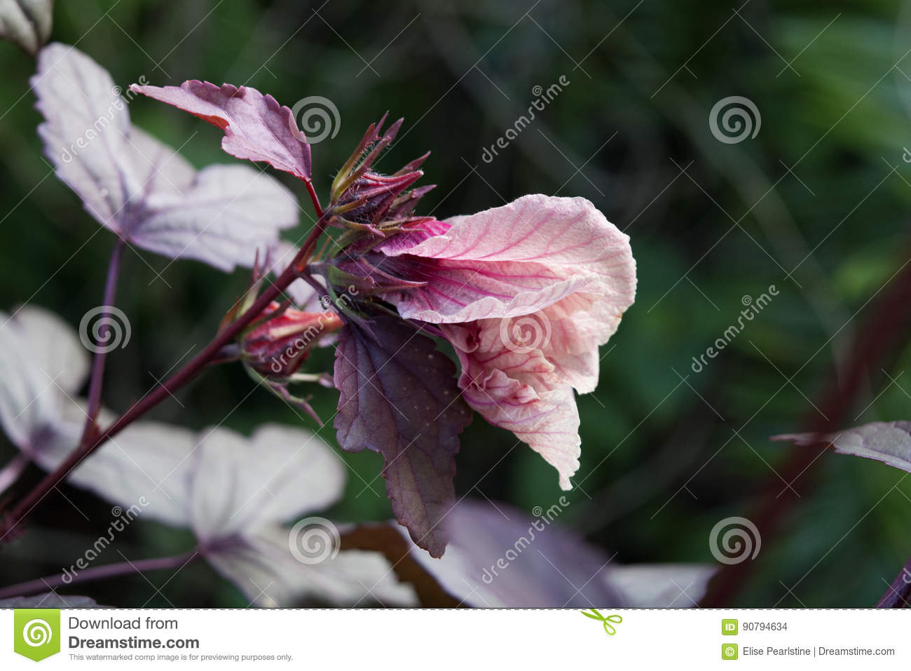 Cranberry Hibiscus Flower Bud Stock Photo Image Of Flowers Bright