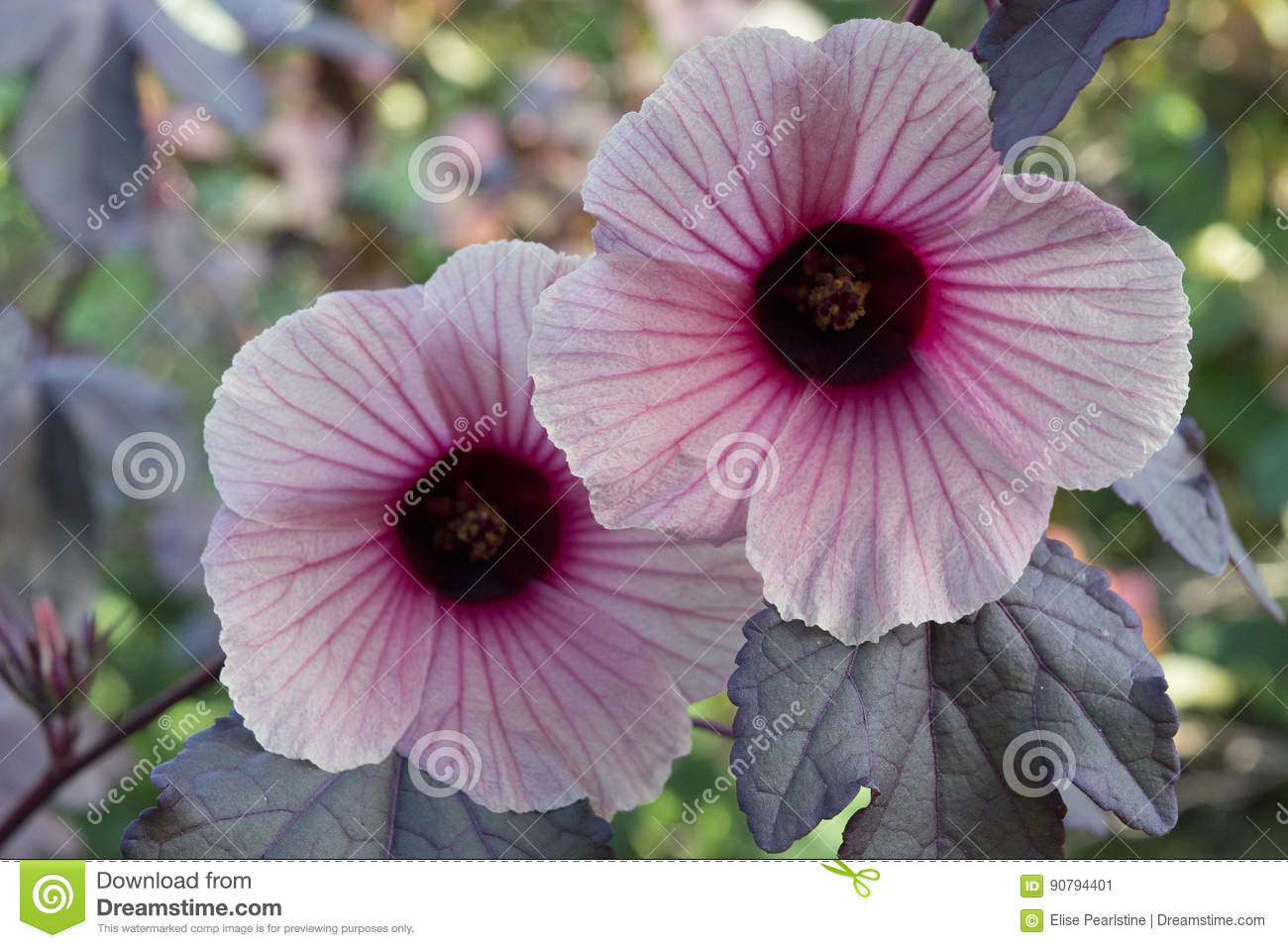 Cranberry Hibiscus Flowers Stock Image Image Of Leaves 90794401