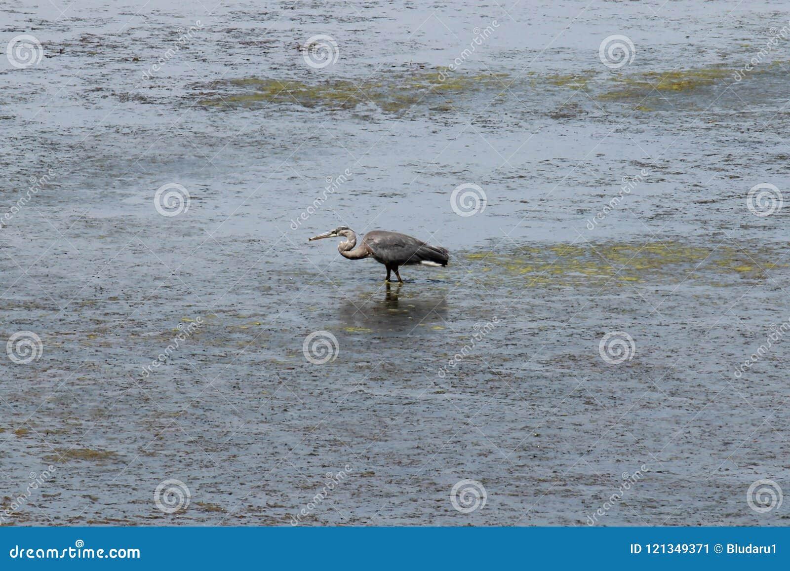 Crane Feeding In Water