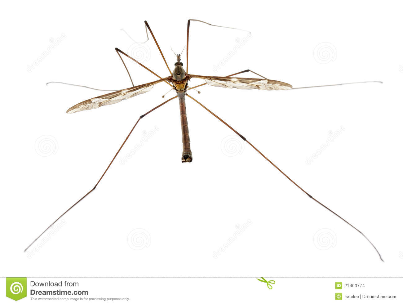 Fly or daddy long legs tipula maxima stock images image 21403774