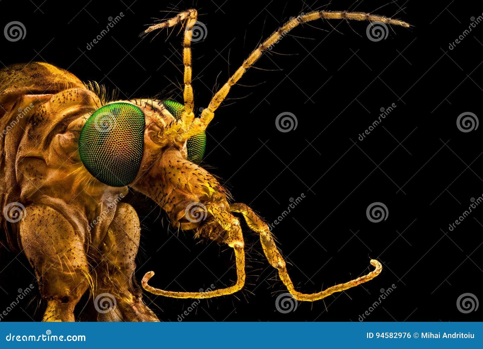 Crane Fly de ojos verdes