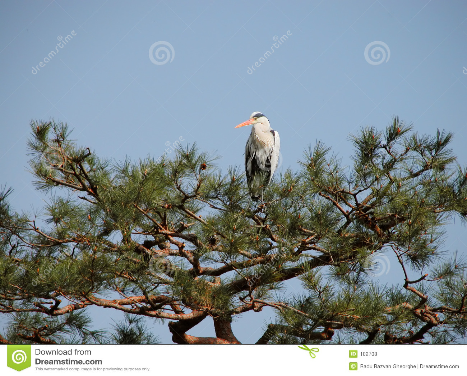 Crane no pinho