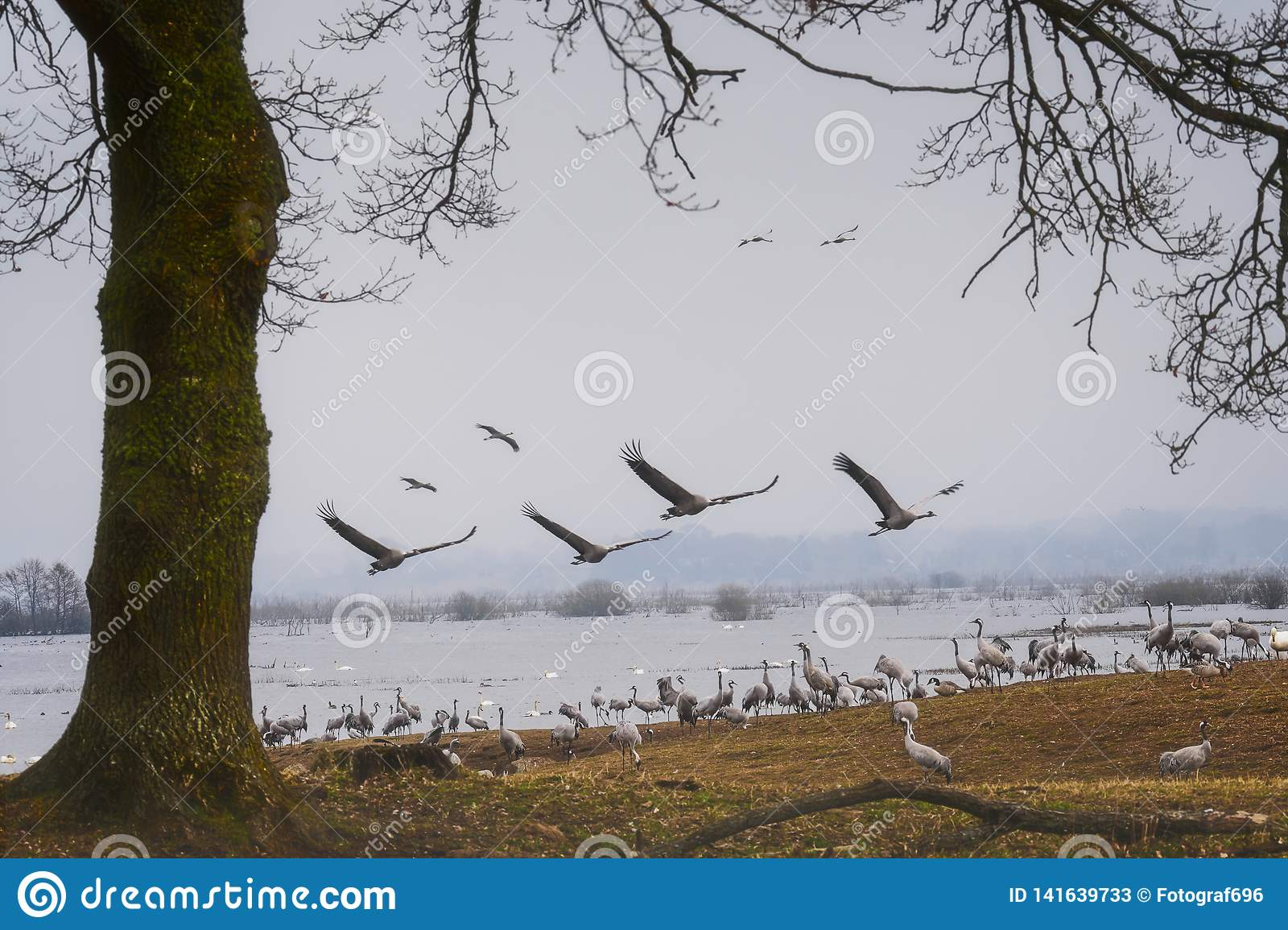 Cranes flying over the lake.