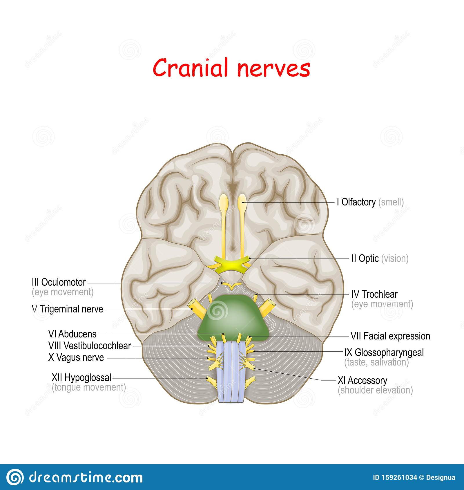 Cranial Nerves. Human Brain And Brainstem From Below Stock ...
