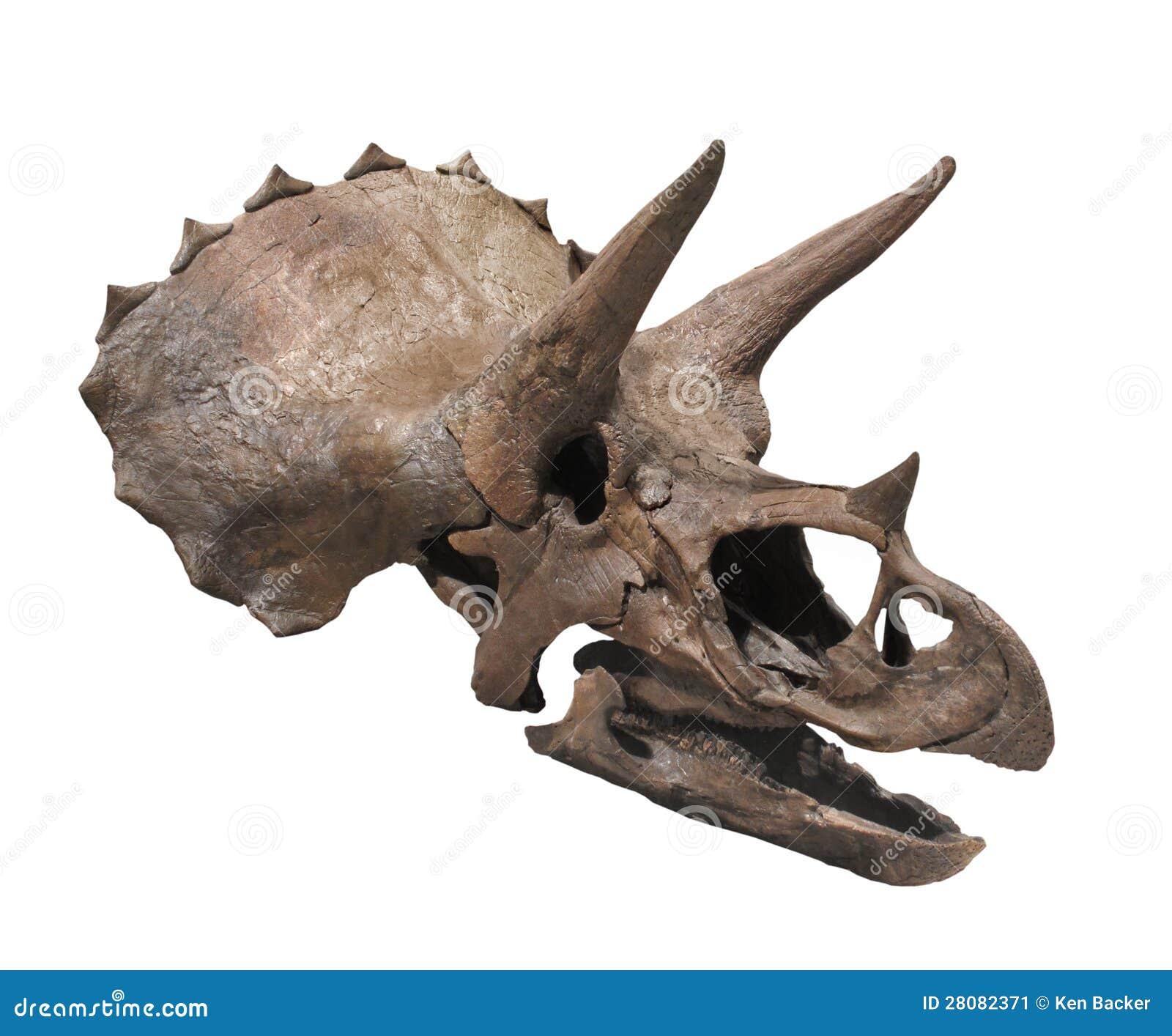 Cranio fossile di un dinosauro del triceratopo. Isolato su bianco.