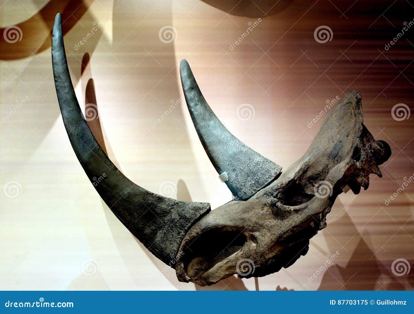 Cranio e horne di rinoceronte
