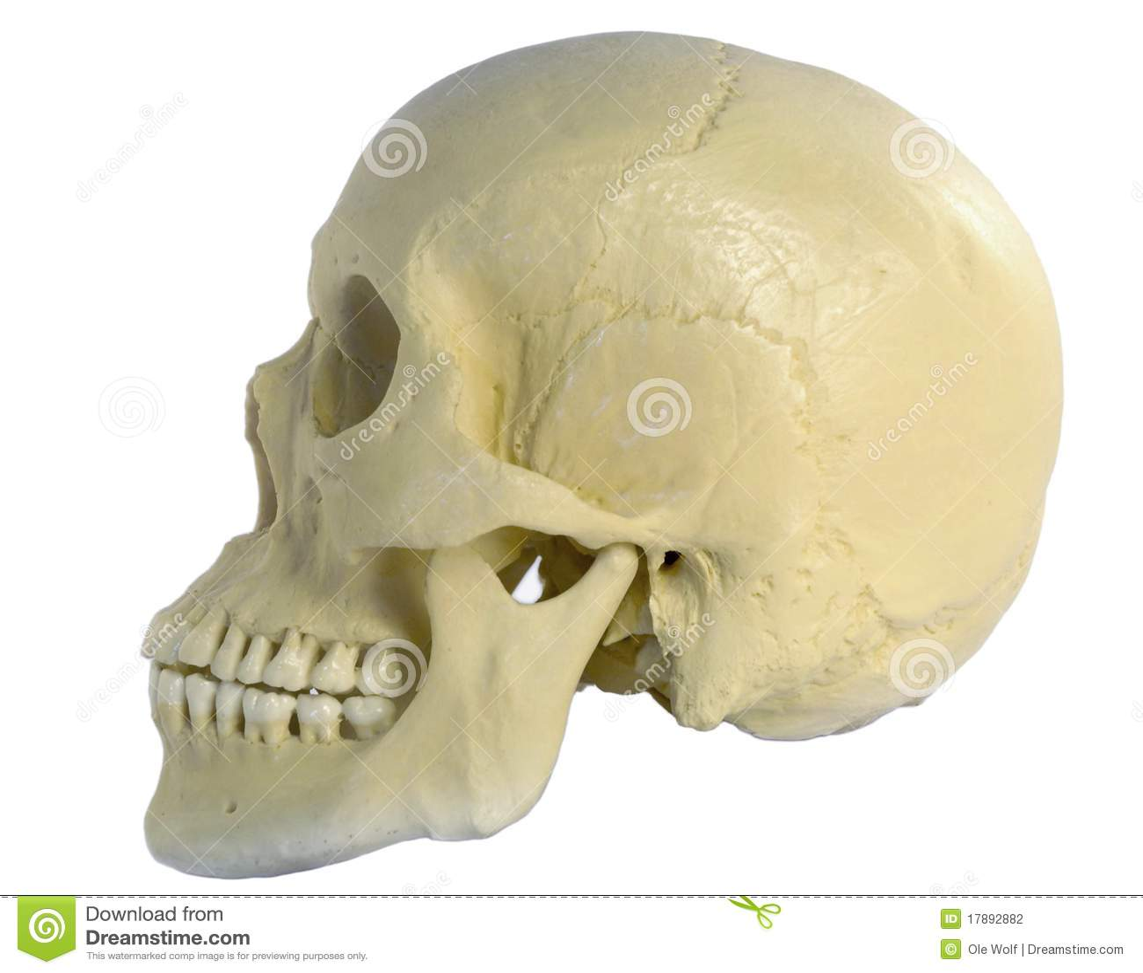 Cranio umano indicato dal lato su priorit 224 bassa bianca buon per i