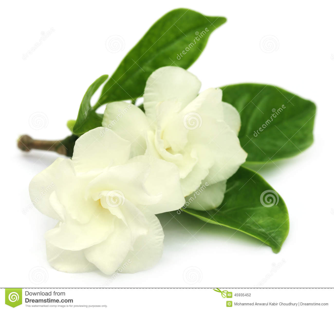 Jasmine Flower Over White Background. Royalty-Free Stock