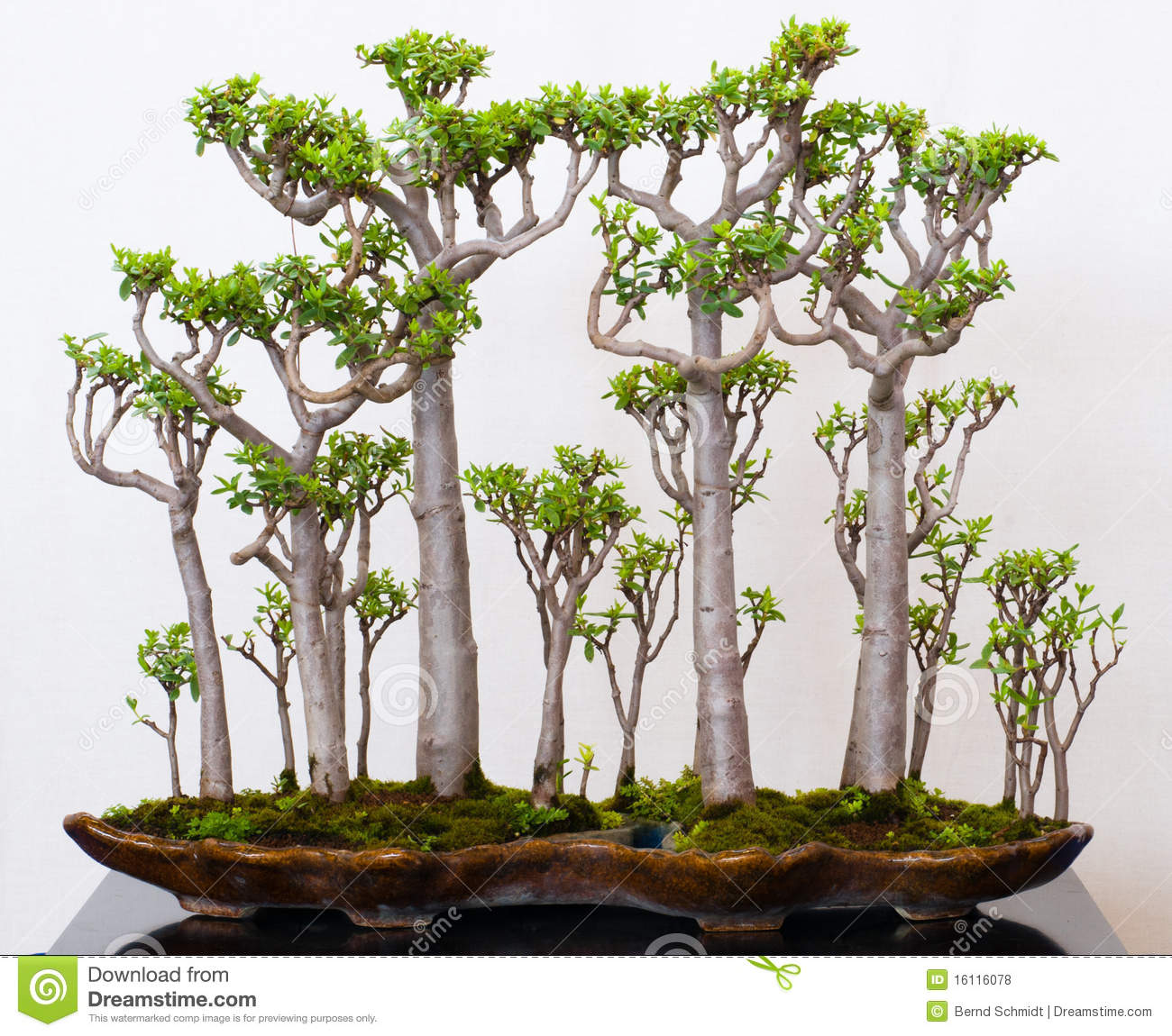 Crassula Forest Photos Free Royalty Free Stock Photos From Dreamstime