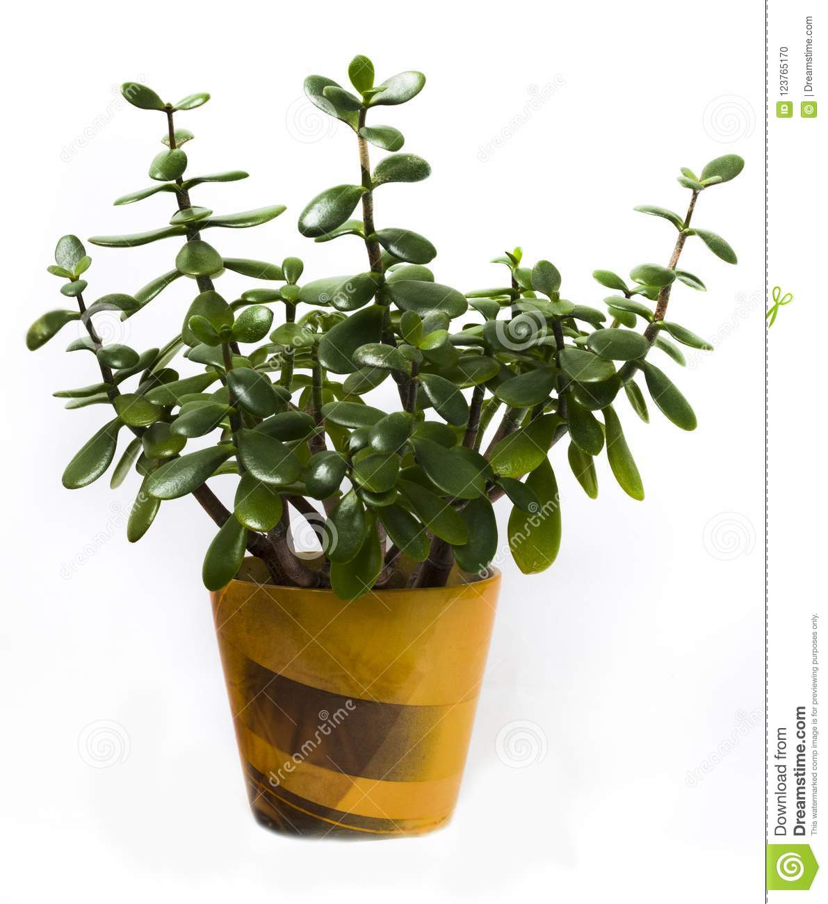 Crassula Ovata In Yellow Pot On White Background ...