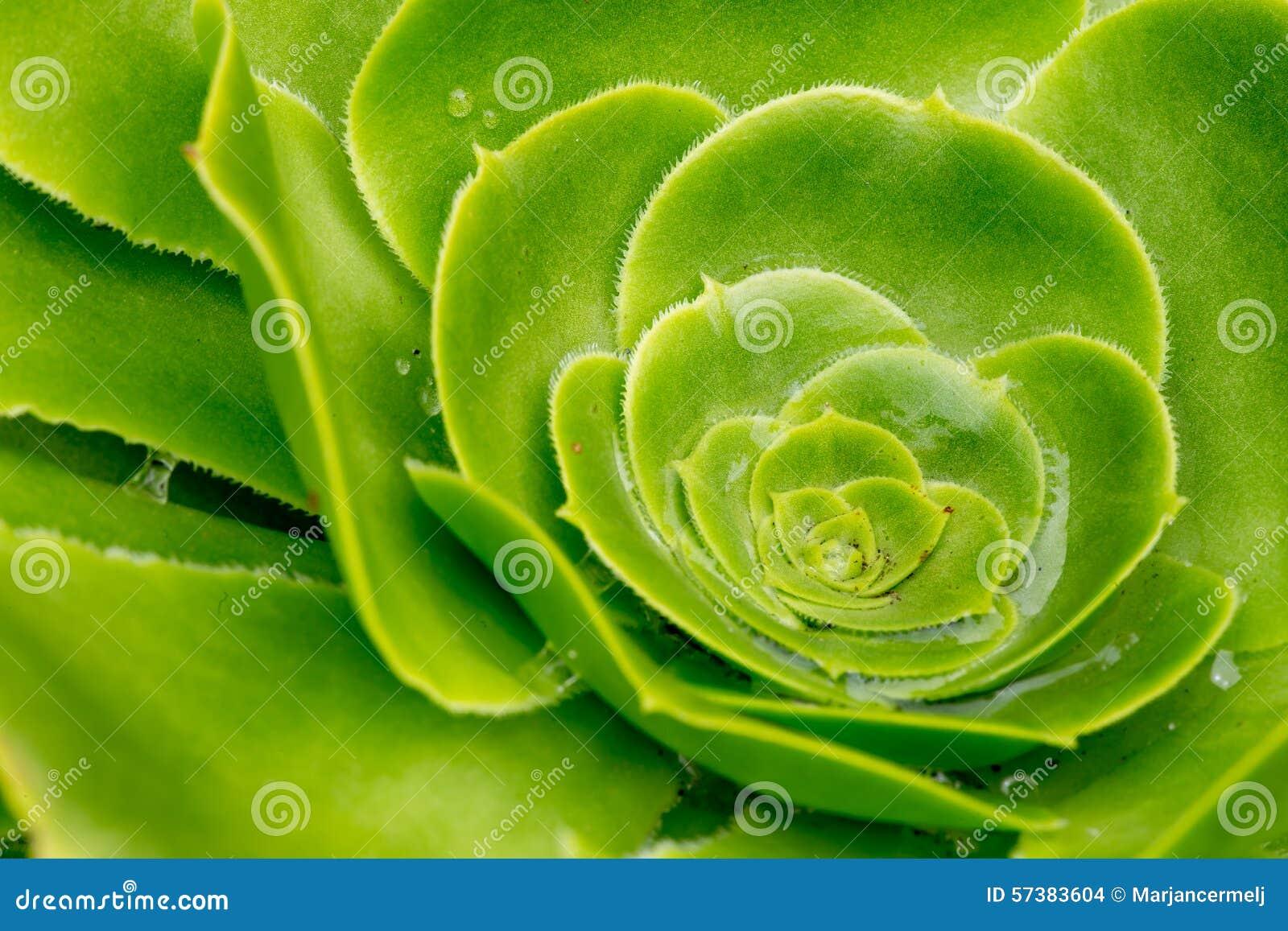 Crasullaceae Aeonium de Canarische Eilanden - het Reuzefluweel nam toe