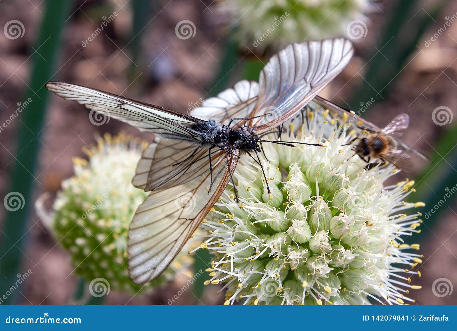 Crataegi Aporia 2 бабочек, черно-veined белизна сопрягает на цветке лука Селективный фокус
