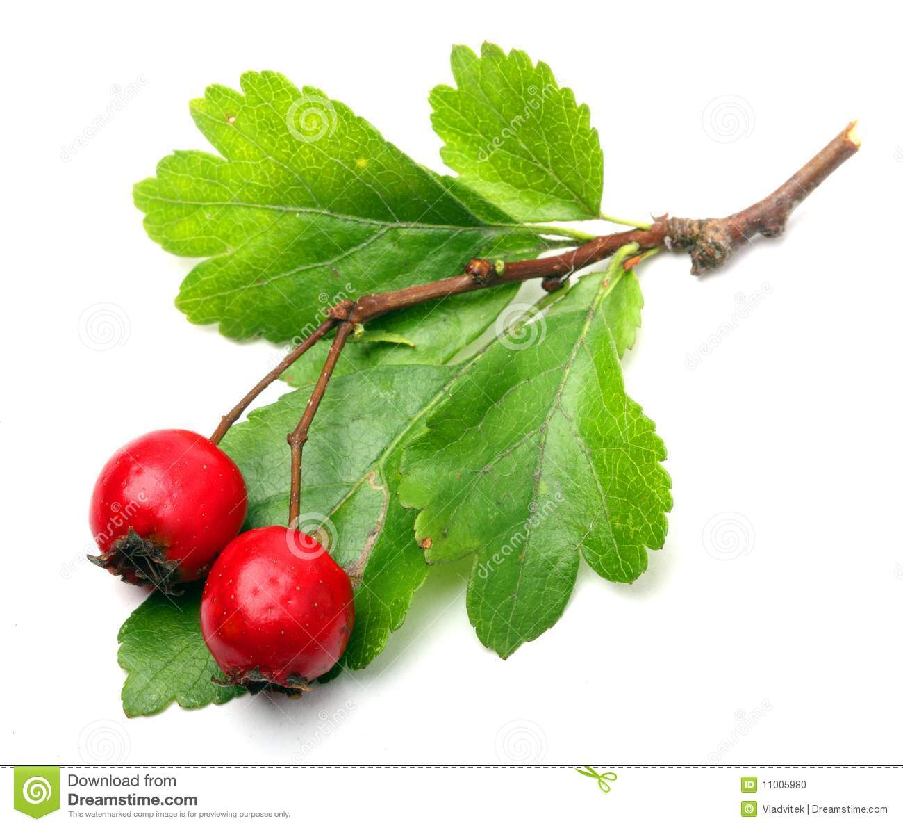 Crataegus oxyacantha - Hawthorn. The total complex of plant ...