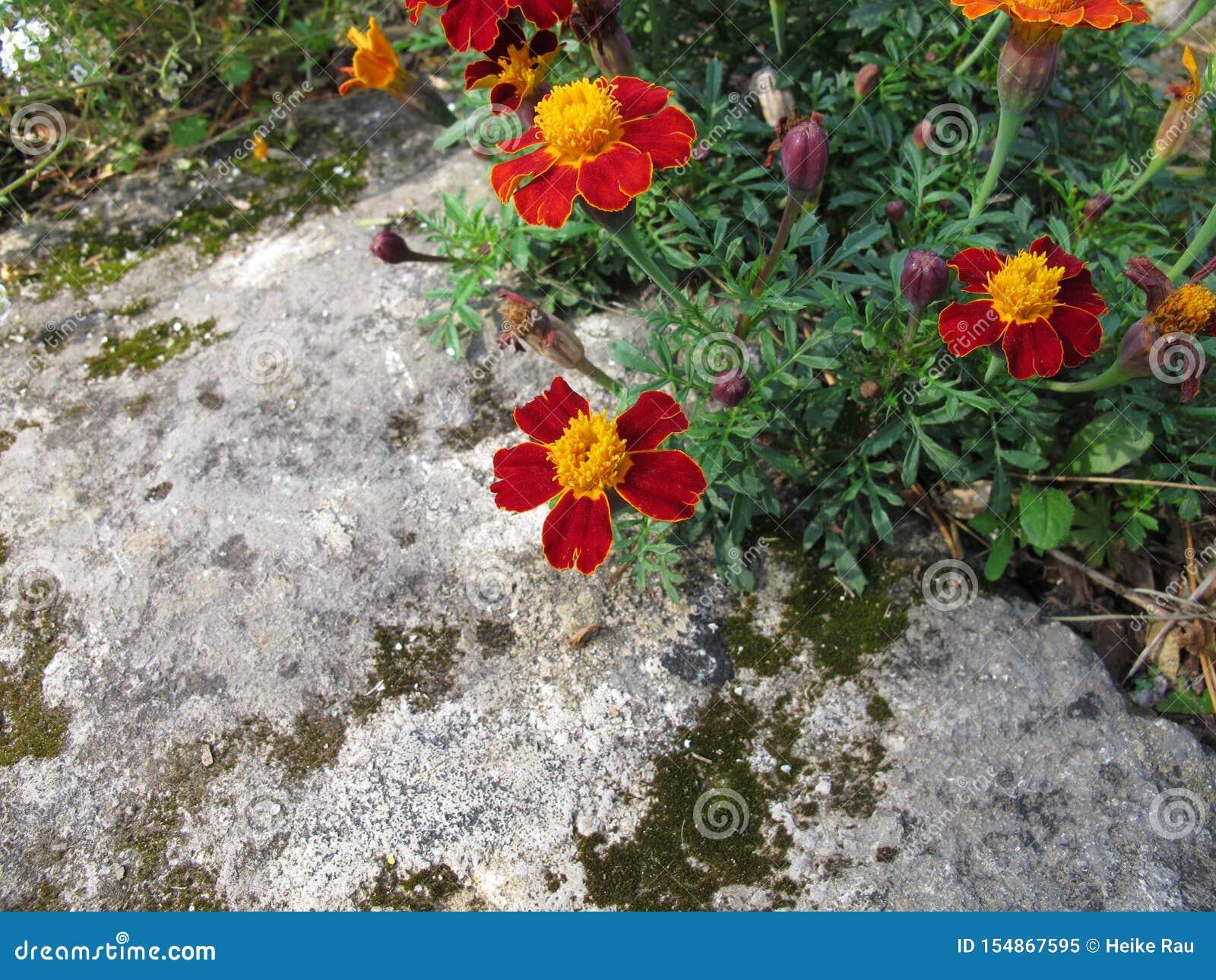 Cravo-de-defunto do sinete, tenuifolia de Tagetes, com flores