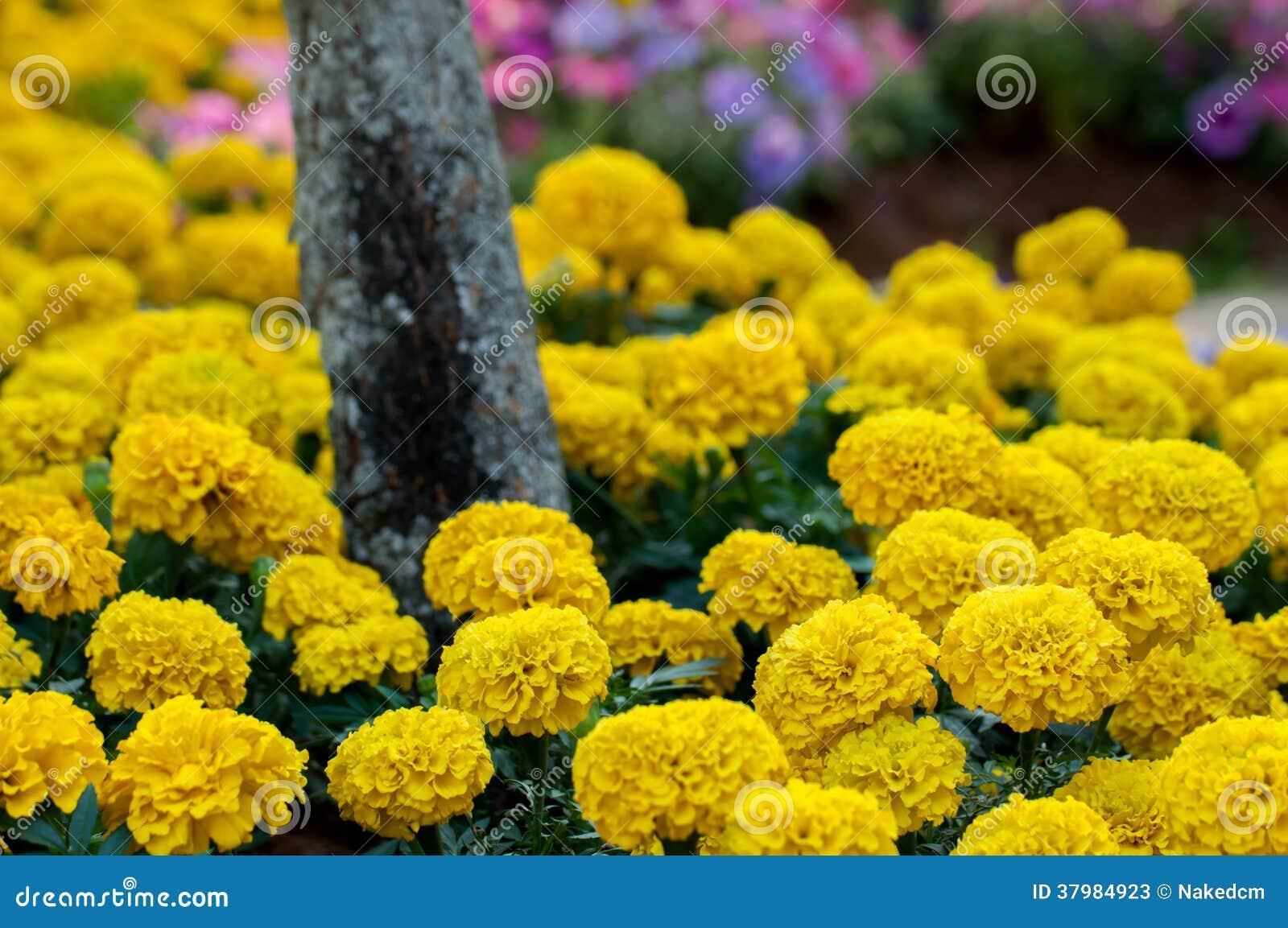 flor de jardim amarela:Cravo-de-defunto, Flor Amarela No Jardim Fotos de Stock – Imagem