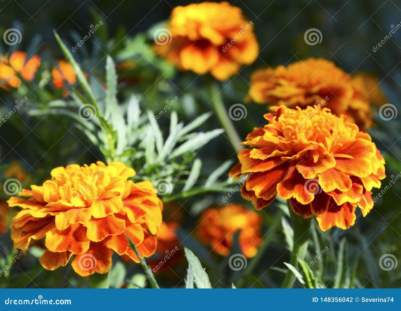 Cravo-de-defunto francês amarelo alaranjado ou de patula de Tagetes flores no jardim do verão Fundo floral dos cravos-de-defunto