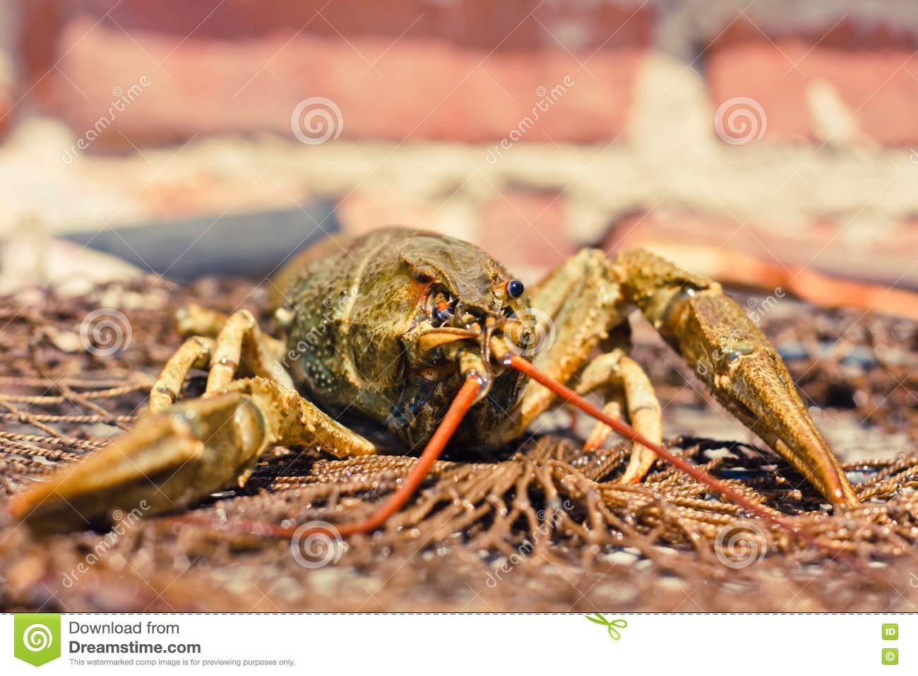 The crawfish in fishing network royalty free stock photos for Fishing with crawfish