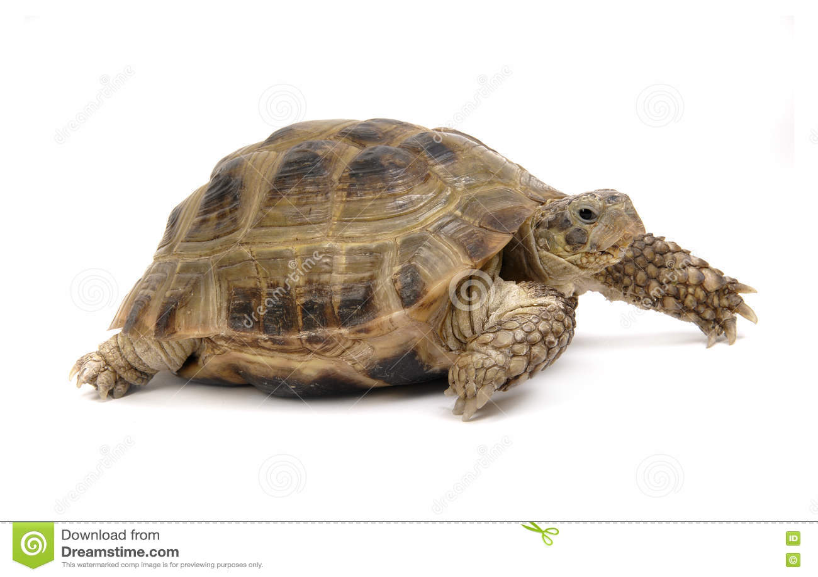 Crawling tortoise isolated