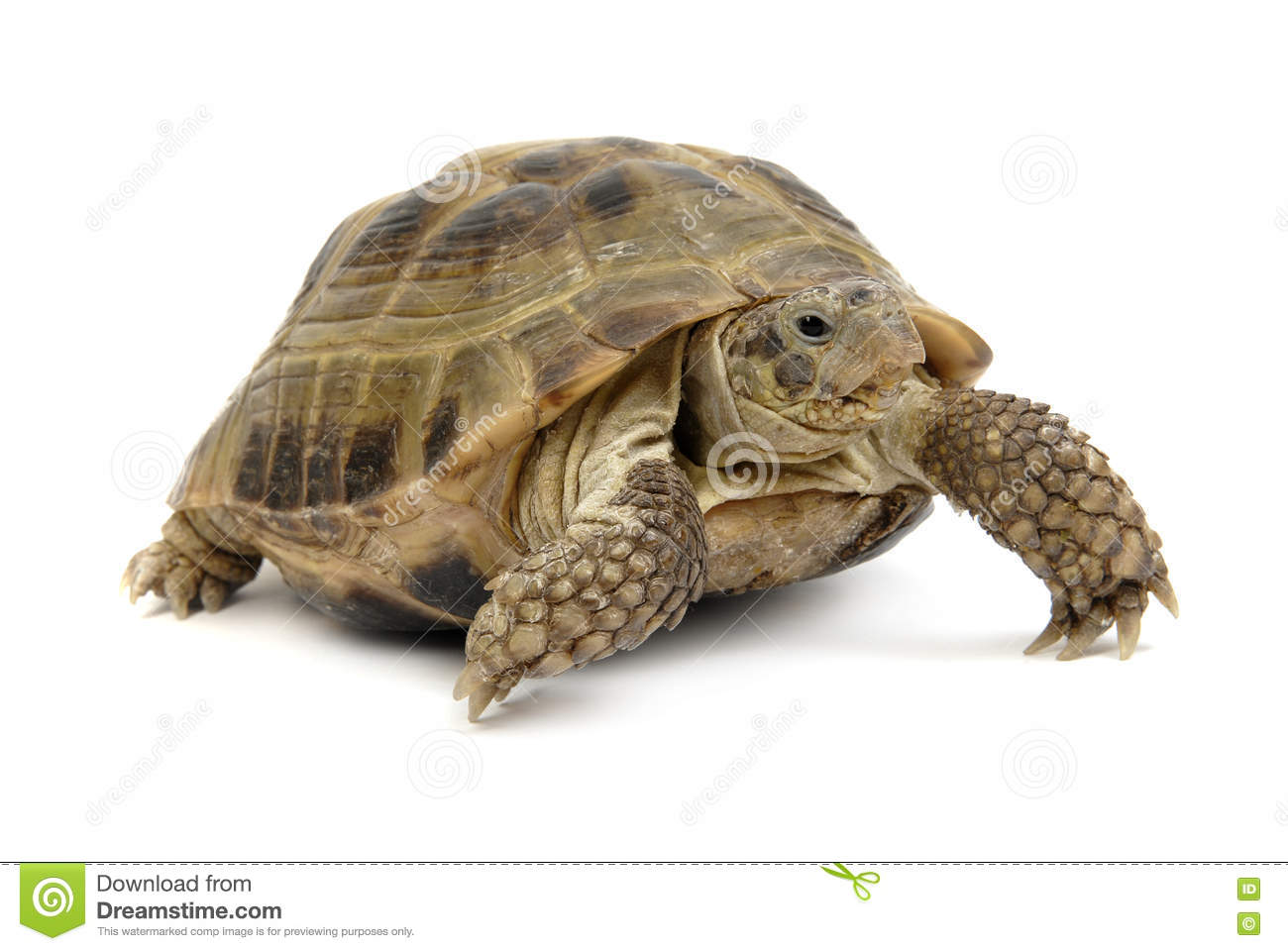 Crawling tortoise on a white background