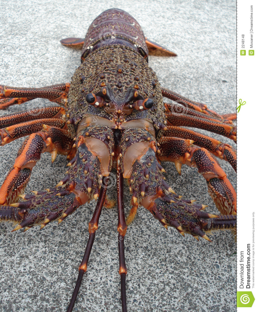 Crayfish Spiny Rock Lobster Stock Photo - Image: 2248148
