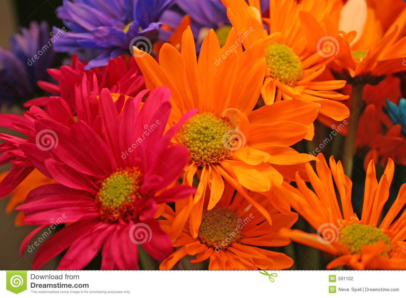Crazy Daisies Stock Photo Image Of Flowers Orange Macro 591102
