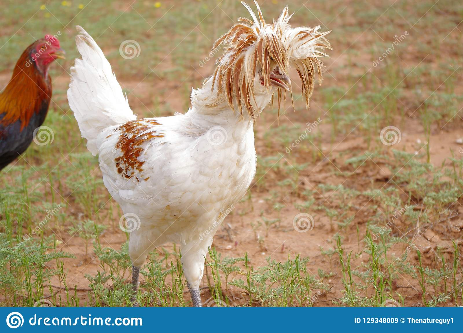Crazy Hairdo Of A Polish Crested Rooster Stock Image Image Of