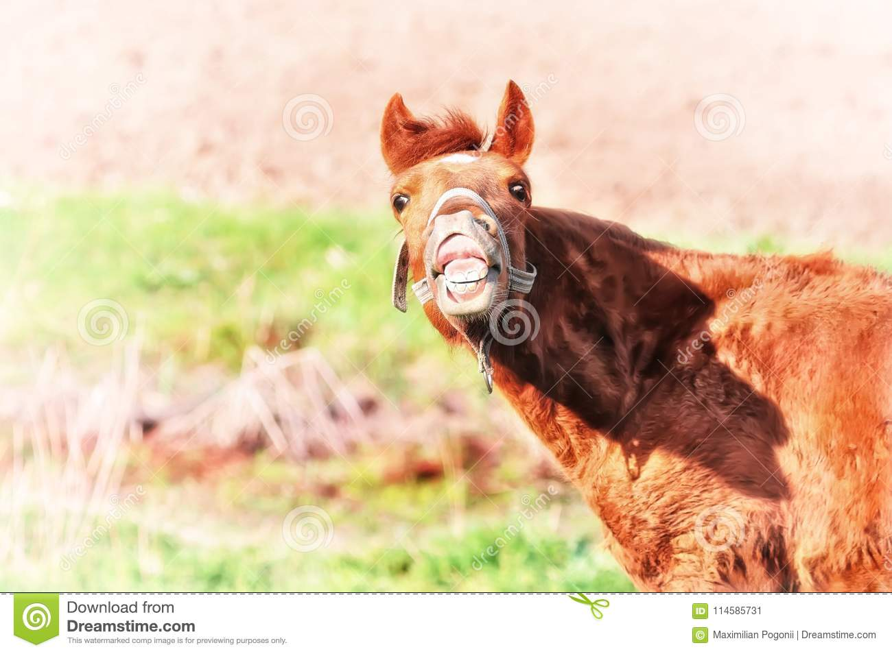 Crazy Horse Funny Face Laughs Stock Image Image Of Herbivore Horse 114585731