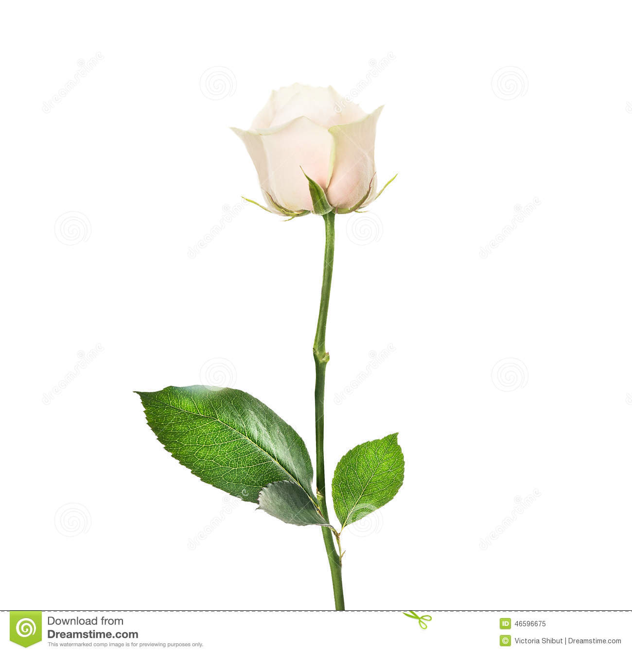 cream rose in bud with beautiful leaves isolated stock