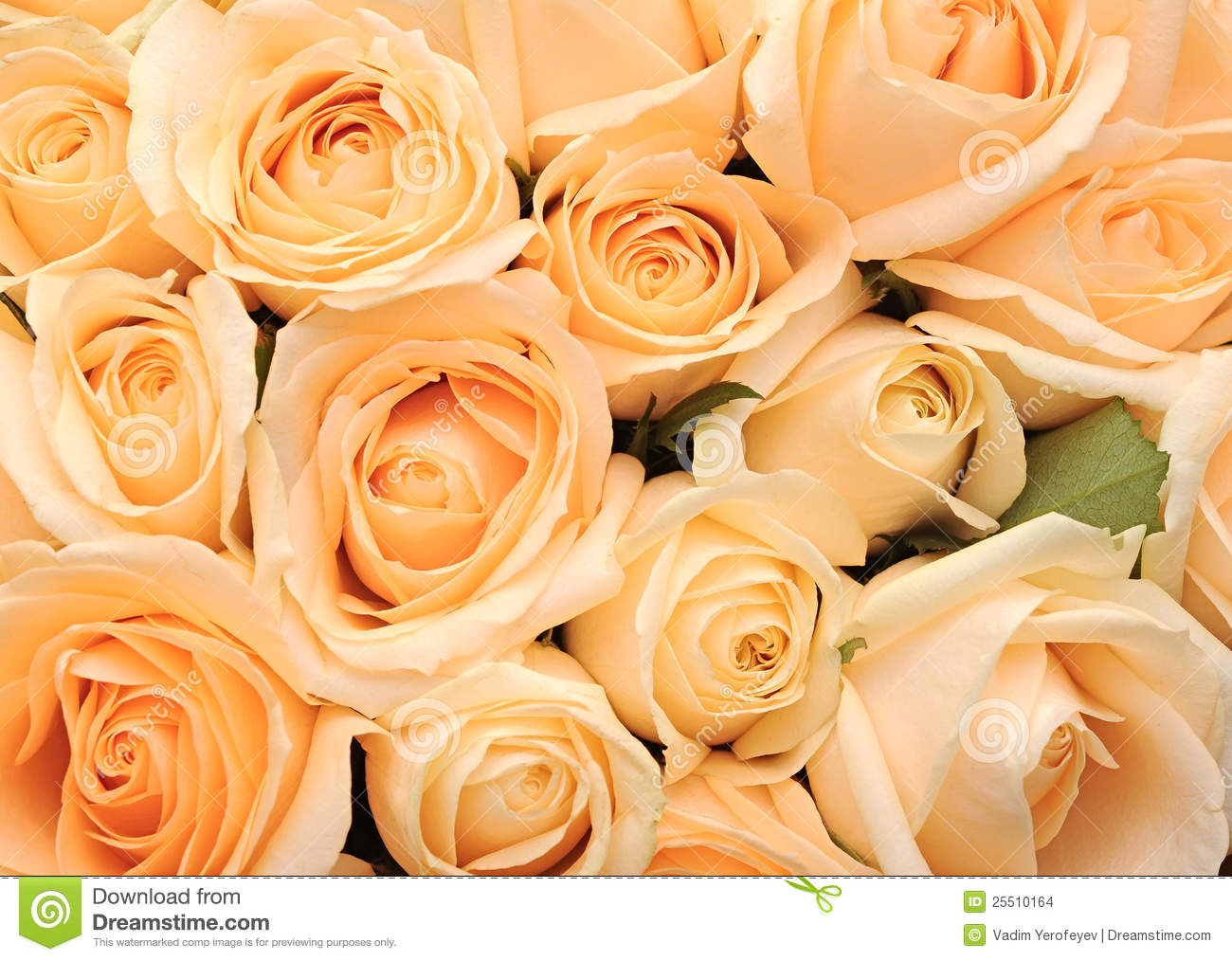 Cream roses background stock photo image of background for Cream rose wallpaper