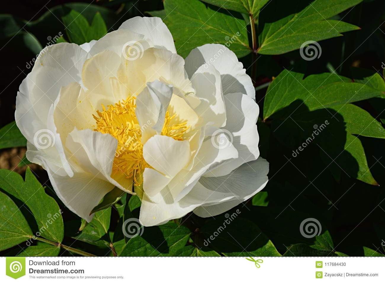 Creamy White To Yellow Coloured Flower Of Tree Peony Paeonia