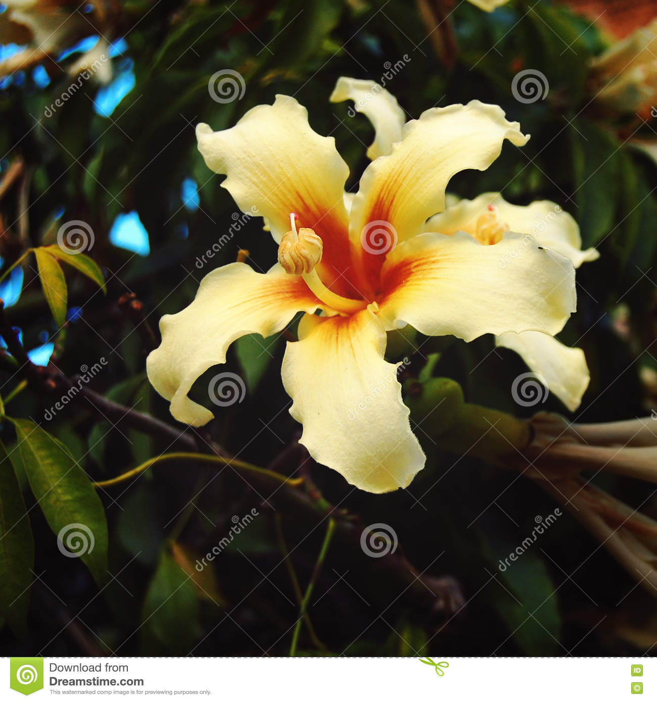 Creamy yellow lily like flower aged photo ceiba stock image royalty free stock photo izmirmasajfo Image collections