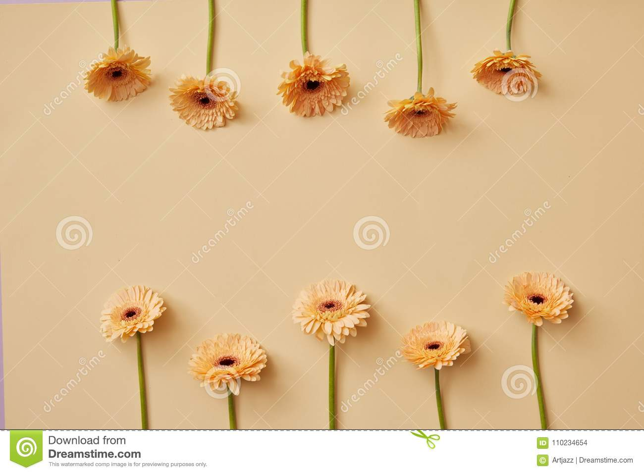 Creative composition of beige flowers gerberas for Valentine`s Day or Mother`s