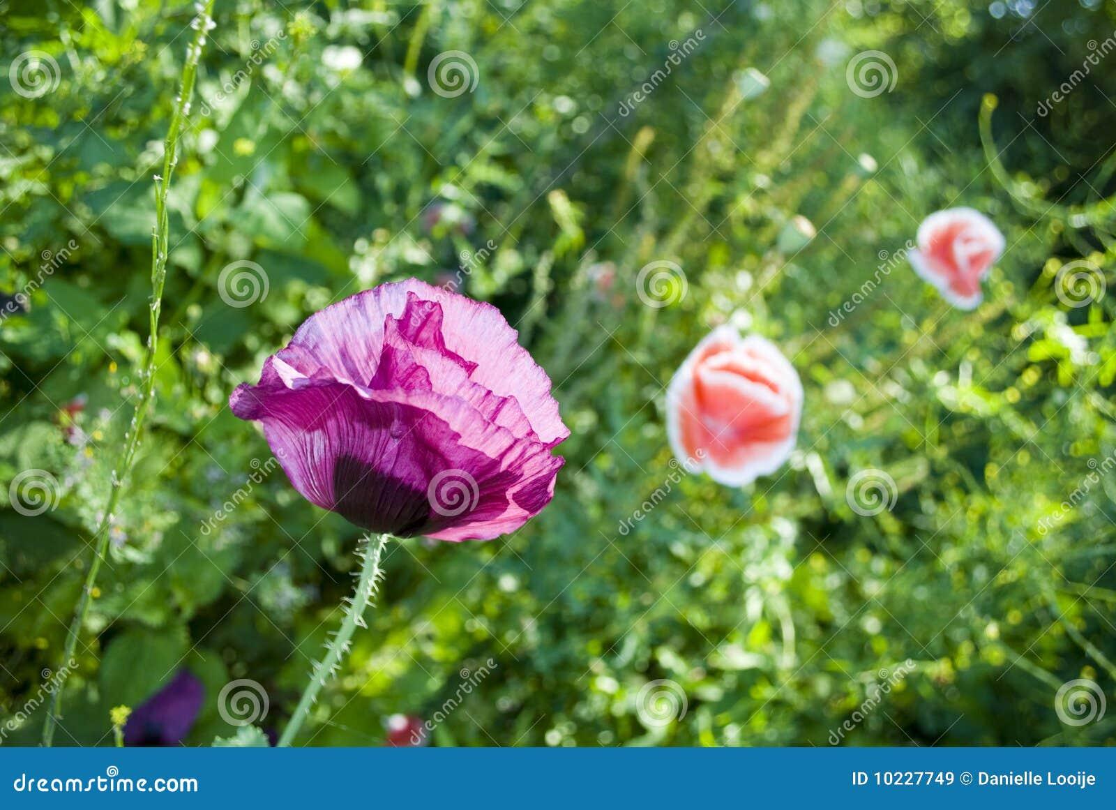 Crecimiento de flor de la amapola en el jard n im genes de for Amapola jardin de infantes palermo