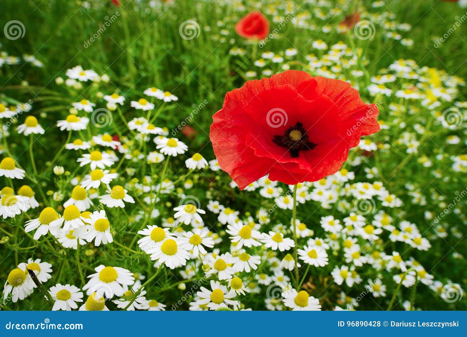 Crecimiento de flores rojo del Papaver y de la manzanilla de la amapola de maíz en prado colorido en campo Campo de la primavera