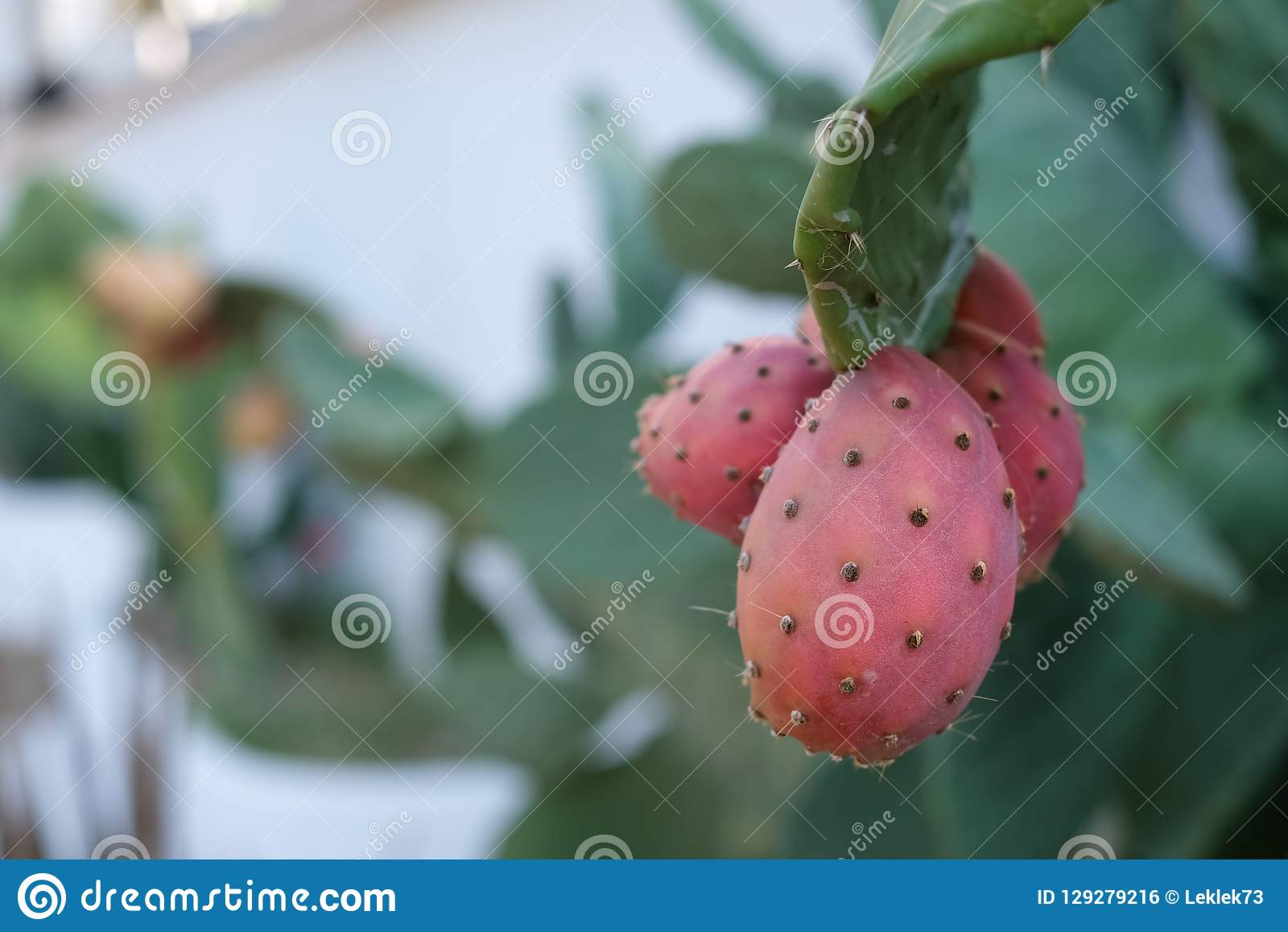 Crecimiento de fruta del cactus del higo chumbo cerca de Mattinata, Puglia, Italia