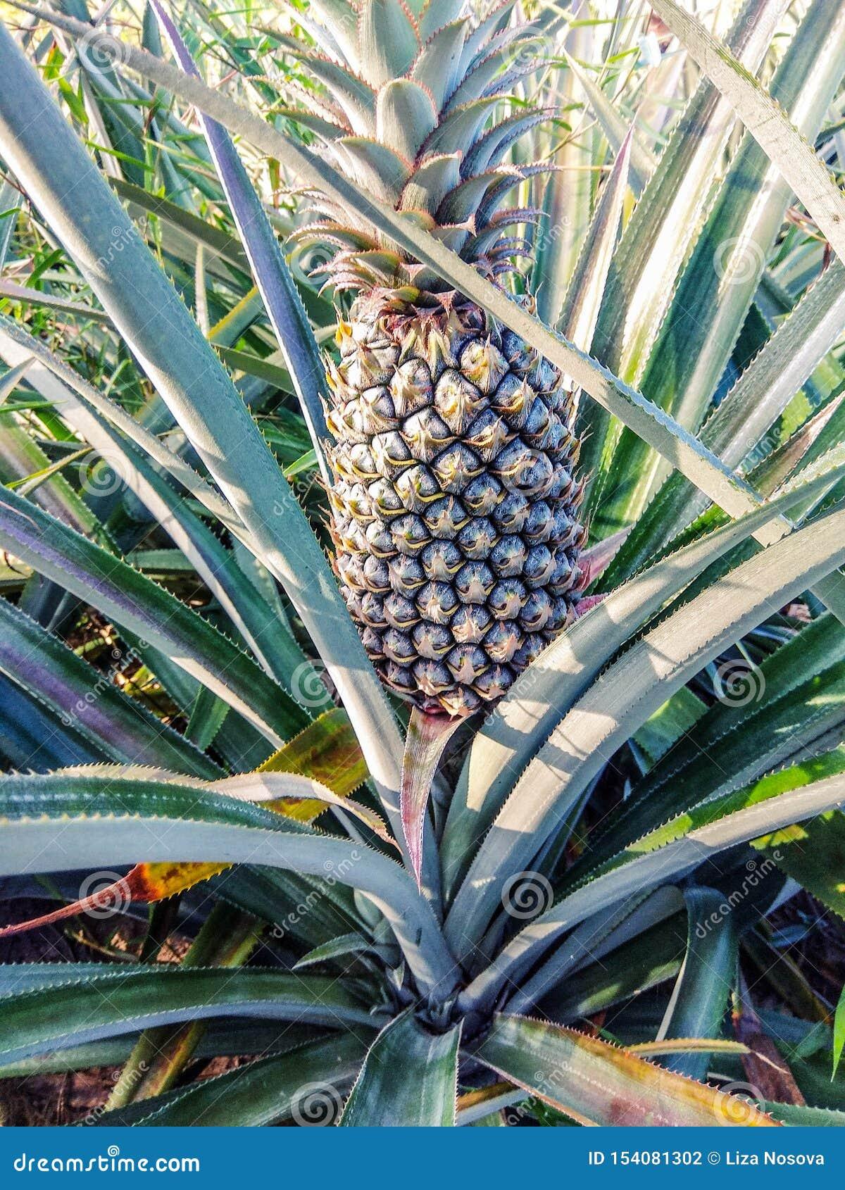 Crecimiento de fruta tropical de la pi?a en una granja